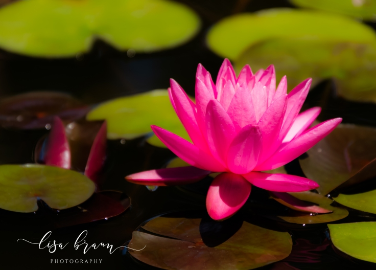 Fuscia Water Lily (1 of 1).jpg